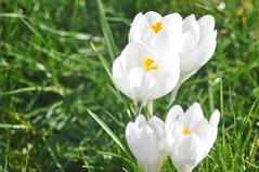 Pavilion_Gardens_0050 (Peter-Williams) Tags: uk flowers garden sussex countryside brighton crocus daffodil parkland carmelia paviliongardens