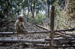 Contemplative Monkey (Daniel Robert Kelly) Tags: india wayanad kalpetta
