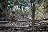 Contemplative Monkey (Daniel Robert Kelly) Tags: india wayanad kalpetta