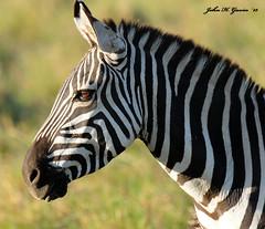 JHG_3341-b Burchell's Zebra, Masai Mara, Kenya (GavinKenya) Tags: africa park male kenya african safari mara zebra masai masaimara burchells kenyaafrica