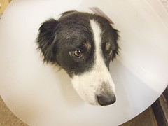 dog pets dogs animals collie border canine bordercollie millie k9 2014 colliedog dogtraining johngarghan medicaldogcollar