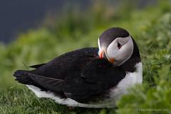 Puffin / Fratercula arctica (Kees Waterlander) Tags: birds scotland unitedkingdom vogels gb puffin shetland fraterculaarctica sumburghhead papegaaiduiker mainlandshetland