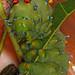 Day 199 - Cecropia Moth caterpillar - Hyalophora cecropia, Herndon, Virginia