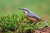 Boomklever - Sitta europaea (wimberlijn) Tags: boomklever sittaeuropaea standvogel zangvogel vogel natuur nationaleparkdehogeveluwe nuthatch statebird songbird bird wildlife nature animal gelderland nederland