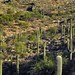 A Hillside of Saguaro and Prickly Pear Cactus