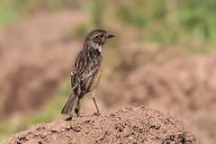 saxicolarubicola stonechat europeanstonechat cartaxo cartaxocomum bird wildlife ave passerine