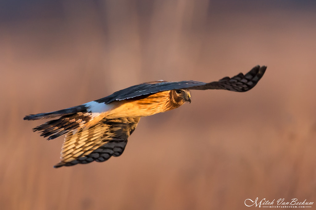 First Light Northern Harrier
