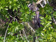 Hard to Spot Great Blue Heron (Phil's 1stPix) Tags: suwanneecountyflorida floridaichetuckneesprings ichetuckneespringsstatepark ichetucknee floridaspring florida nature ichetuckneespring wildflorida realflorida naturephotography freshwaterspring geotag naturalflorida floridastream floridaspringriver ichetuckneeriver geotagged creativecommonsnature ichsprings ichetuckneesprings floridastatepark floridasprings floridacanoetrip heronstalking wildbird ardeaherodias taxonomy:binomial=ardeaherodias greatblueheron gbh floridanature floridawildlife naturalecosystem phils1stpix firstpix unitedstates usa wildlife centralfloridarecreation lightroom5 adobelightroom5 photoscape floridaecosystem m40150mmf4056r centralfloridariver olympusem5markii ciconiiformes ardeidae olympusomdem5markii floridawetland floridagrassland tiffencircularpolarizer wadingbird predator huntingheron huntinggreatblueheron hideandseek hidingheron gbhhideandseek