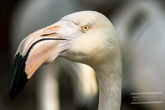 Flamingo (Anahita Hashmani) Tags: bird animals photography zoo dubai photographer wildlife flamingo uae feathers breeding dubaizoo femalephotographer anahitahashmani