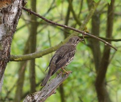 Mistle Thrush (Jacky4me) Tags: uk bird nature song north lakes lincolnshire oasis british thrush nesting somercotes