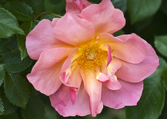 All the Rage (Shotaku) Tags: pink flowers roses flower macro rose closeup garden rosa alltherage