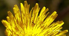 2013 05 29_dandelion_wm (Mary Ann Massey) Tags: dandelion k7 smca50mmf17