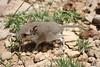 IMG_5690 (Benjamin Bucks) Tags: elephant wildlife mammals shrew somalia somaliland elephantulus revoili