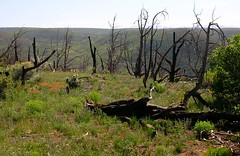 Recent fires on the mesa top of Mesa Verde National Park have charred approximately half of its forest acreage consisting primarily of Utah Juniper (Juniperus osteosperma) and Pinyon Pine (Pinus edulis). (troupial) Tags: mesaverde forestfires