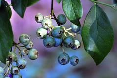 Blueberries (holdit.) Tags: fruit bush blueberry shrub blueberries