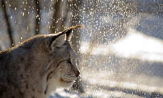 Lynx (Jo Stenersen) Tags: winter light sun snow sunshine norway mammal feline close falling endangered predator lynx gaupe langedrag