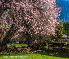 Peach Blossom, Bome, Tibet (Feng Wei Photography) Tags: china travel snow flower color tourism nature floral beautiful beauty rural season landscape countryside spring scenery colorful asia tour view outdoor scenic peach meadow peaceful tibet vista tibetan remote bome linzhi nyingchi peachflower