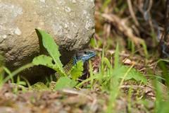 Western Green Lizard (Lacerta bilineata) (piazzi1969) Tags: italy lizards greenlizard trentino reptiles herps lacerta ramarro bilineata valsugana roncegno