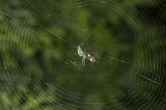 Spider eating series 11 (Richard Ricciardi) Tags: spider eating web spinne araa  araigne ragno timeseries     gagamba    nhn  spidertimeseries