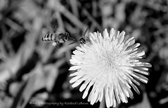 Pollenation (Art & Photography by Michellea Sefton) Tags: bw flower nature bug garden blackwhite nikon bees insects bugs dandelion bee d3100