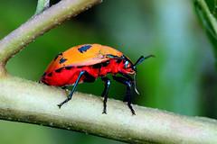 Adult harlequin bug (Lekha Suraweera) Tags: elementsorganizer