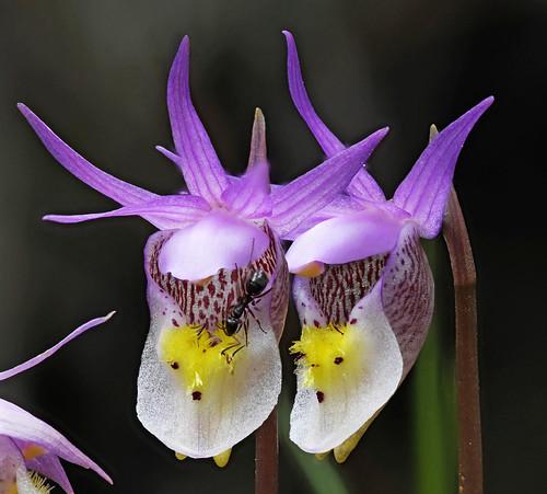 Photo - Calypso, or Fairy Slipper, Orchids