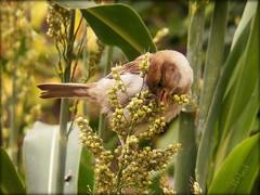 This Sorghum is so yummy (MissyPenny) Tags: summer plants birds garden spring sparrow sorghum buckscounty springtime bristolpennsylvania birdsinpennsylvania westbristolpa pdlaich missypenny