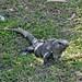 Una delle innumerevoli iguane nelle rovine di Tulum