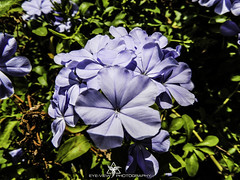 DSCN3515 (Eye-View Photography) Tags: morning flower macro green nature floral leaves garden purple explore jamaica eyeview flickeraward