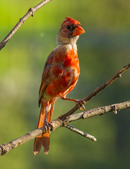 8-13-13 Ugly Juvenile Cardinal (ELDANS) Tags: cardinal