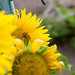 Sonnenblumen in Templiner Hinterhof