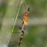 Golden Silk Orbweaver female and male (Nephila clavipes)