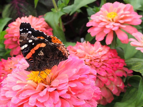 Red Admiral Butterfly On Pink Flower