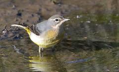 Grey Wagtail (ron.hindhaugh) Tags: bird nature nikon wildlife 500mm d800 greywagtail