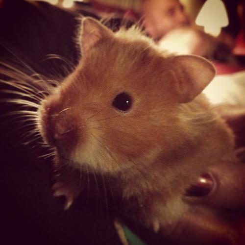 Sally Sally #pets #hamster #cuteasabutton