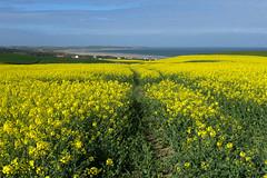 Côte d'Opale, paysage agricole (Ytierny) Tags: france horizontal paysage capgrisnez champ baie pasdecalais graphisme colza littoral côtedopale agricole boulonnais sitedesdeuxcaps ytierny