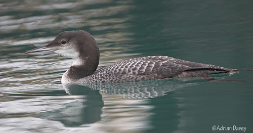 "Great Northern Diver • <a style=""font-size:0.8em;"" href=""https://www.flickr.com/photos/30837261@N07/10722976026/"" target=""_blank"">View on Flickr</a>"