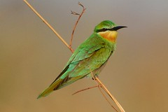 Blue-cheeked Bee-eater (Merops persicus) (Ian N. White) Tags: gaborone botswana bluecheekedbeeeater meropspersicus