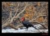 Southern ground-hornbill (xicoleao (Thanks to 1 million views)) Tags: africa nature birds animals wildlife natureza aves animais kruger africadosul vidaselvagem mygearandme mygearandmepremium