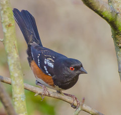 No singing today. (Omygodtom) Tags: autumn winter wild cold bird fall nature nikon december branch wind bokeh windy 70300mm oaksbottom wildlifeinportlandoregon