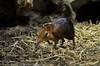 steppeslurfhondje - Rhynchocyon petersi - Black and rufous elephant shrew (MrTDiddy) Tags: elephant black mammal zoo hond gijs antwerpen shrew steppe zooantwerpen hondje rufous slurf zoogdier petersi sengi rhynchocyon slurfhondje steppeslurfhondje slurfhond