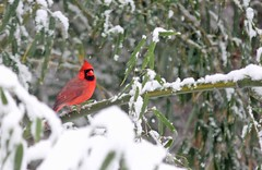 Cardinal Resting On The Snowy Bamboo (Family Man Studios) Tags: snow nature birds scenery cardinal snowstorm scenic delaware newarkdelaware backyardbirds dougholveck