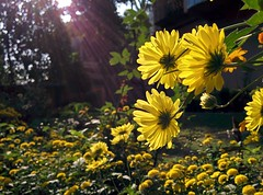 cameraphone plants sun flower tree green nature yellow... (Photo: istiaque.mohammad on Flickr)