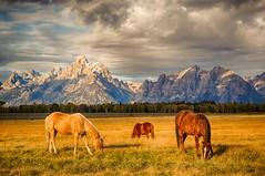 horses grazing close to the Tetons - explore (Marvin Bredel) Tags: bravo unitedstates wyoming tetons moran marvinbredel grandtetonsgrandtetonnationalparkjacksonholehorsesgrazingmountainscloudspasturelandscapebeautifulmarvinbredelfall