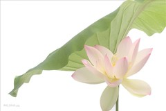 Lotus Flower (Bahman Farzad) Tags: flower yoga peace lotus relaxing peaceful meditation therapy