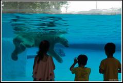 Polar Bear in the Tropics (Samsul Adam) Tags: bear water kids swimming swim zoo frozen nikon singapore watching exhibit polarbear handheld polar f28 tundra d800 frozentundra 2470mm inuka zop vision:people=099 vision:face=099 vision:outdoor=0655 vision:sky=0563