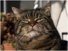 I'm not sure if I'm still talking to you ! (FocusPocus Photography) Tags: portrait cat feline chat kitty portrt greeneyes gato katze cleo grumpy shorthaired grneaugen kurzhaarkatze