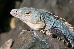 Iguana (Katka S.) Tags: park blue portrait costa cute green beach nature animal stone america big head central rica national iguana manuel antonio mighty