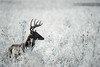 Whitetail Buck in Frost (www.matthansenphotography.com) Tags: winter white snow male ice nature field animal silhouette dark mammal outdoors frost wildlife hunting antlers editorial buck whitetaileddeer whitetaildeer whitetailbuck whitetailedbuck matthansen northamericanbiggame matthansenphotography