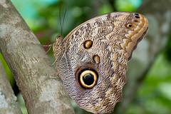 Caligo eurilochus (Eduardo Mena U.) Tags: animales mariposa inbio ordenlepidoptera especiecaligoeurilochus